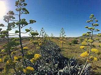 Agave - A row of Agaves in bloom in the Karoo region of South Africa.  The inflorescence of the plants are clearly visible.