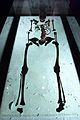 Gdańsk spichlerz Błękitny Baranek - szkielet kobiety zmarłej w XIII wieku.JPG