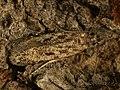 Gelechia cuneatella - Long-winged groundling (40903347771).jpg