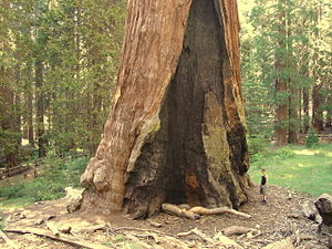 General Grant Grove - The General Grant Tree 3 July 2007