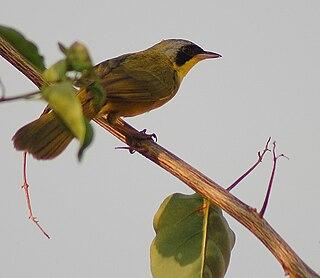 Masked yellowthroat species of bird
