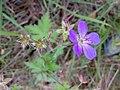 Geranium sylvaticum 01.jpg
