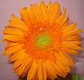 Gerbera flower Orange.JPG