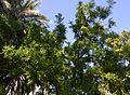 Ginjoler (Ziziphus jujuba) al jardí botànic de València.JPG