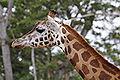 Giraffe07 - melbourne zoo.jpg