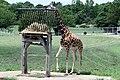 Giraffe (6019871882).jpg