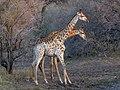 Giraffe (Giraffa camelopardalis) (39352921831).jpg