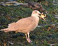 Glaucous-winded Gull with Crab.jpg