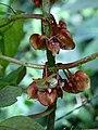 Glossoloma tetragonoides = Alloplectus tetragonoides (Gesneriaceae) (29606214931).jpg