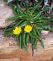 Glottiphyllum longum 5.jpg