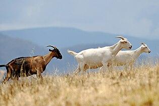 Goats climbing hill.jpg