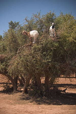 Argania - Goats climbing an Argan tree