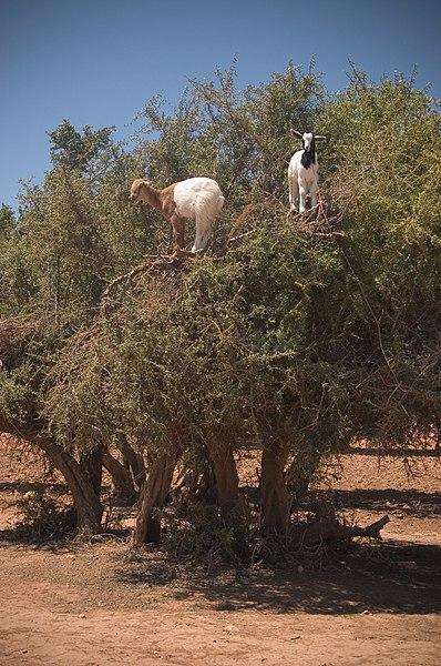 File:Goats on an Argan (Argania spinosa) tree in Morocco.jpg