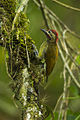 Golden-olive Woodpecker - Colombia S4E0019 (16224293959).jpg