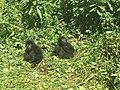 Goma, Nord Kivu, RD Congo - Deux bébés gorilles de montagne orphelins sauvés des braconniers dans le Parc national des Virunga. (22025406339).jpg