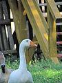 Goose in little farm ZOO in environmental center Chaloupky castle in Kněžice, Jihlava District.JPG