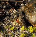 Gopher Tortoise at Smyrna Dunes Park - Andrea Westmoreland.jpg
