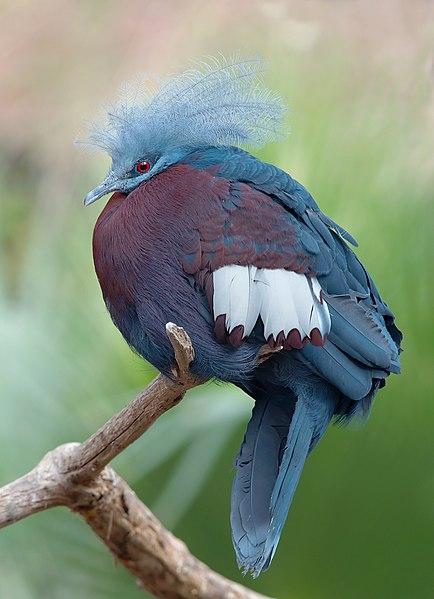 File:Goura scheepmakeri sclaterii 1 Luc Viatour.jpg-پرنده ی عجیب-http://nexusgallery.mihanblog.com/-