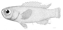 Grammatonotus laysanus.jpg