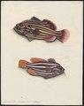 Grammistes orientalis - - Print - Iconographia Zoologica - Special Collections University of Amsterdam - UBA01 IZ12900261.tif
