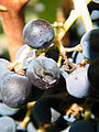 Grapes in the Vineyard at Brix in Napa, California - B - Stierch.jpg