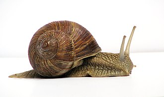Land snail - Helix pomatia, a species of air-breathing land snail
