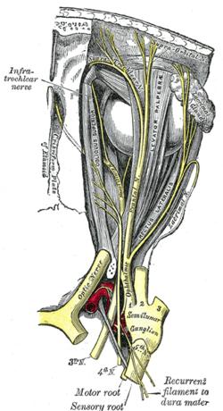 Oculomotor nerve - Wikipedia