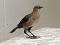 Great-tailed Grackle female RWD.jpg