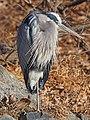 Great Blue Heron - Ardea herodias, Great Falls, Maryland (38672896755).jpg