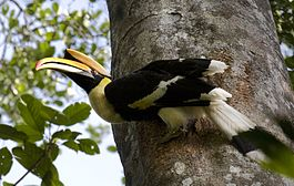 Great Hornbill (male) 2 by N.A. Nazeer.jpg
