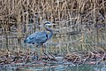Great blue heron (32813409741).jpg