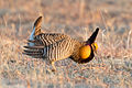 Greater Prairie Chicken (Tympanuchus cupido) (20325397586).jpg