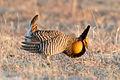 Greater Prairie Chicken (Tympanuchus cupido) (20325397586).jpg
