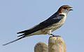Greater Striped Swallow, Hirundo cucullata (syn. Cecropis cucullata), at Marievale Nature Reserve, Gauteng, South Africa (30470104816).jpg