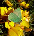 Green Hairstreak. Callophrys rubi - Flickr - gailhampshire (5).jpg