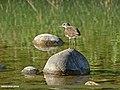 Green Sandpiper (Tringa ochropus) (27099828402).jpg