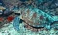 Green Turtle (Chelonia mydas) (8504162944).jpg
