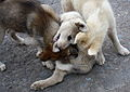 Greenland Husky Puppies (3978353161).jpg