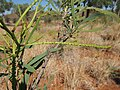 Grevillea mimosoides immature flower spike.jpg