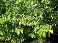Grewia occidentalis 1c.JPG