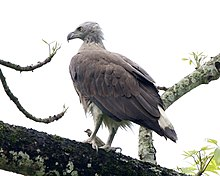 Grey-headed Fish-Eagle (Icthyophaga ichthyaetus) adult - Flickr - Lip Kee (1).jpg