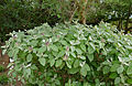 Grey Barleria (Barleria albostellata) (16770381553).jpg