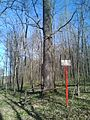 Group of 10 oak trees in Scoreni forest 01.jpg