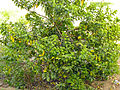 Guava tree Bhoodha Ka Bas.JPG
