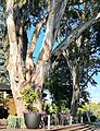 Gum trees, Melbourne, Australia.jpg
