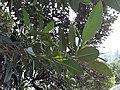 HK ML 香港半山區 Mid-levels 上亞厘畢道 Upper Albert Road flora green leaves April 2020 SS2 05.jpg