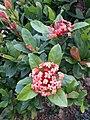 HK TKO 將軍澳 Tseung Kwan O 唐明街公園 Tong Ming Street Park green leaves red flowers November 2019 SS2 16.jpg