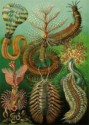 Haeckel Chaetopoda