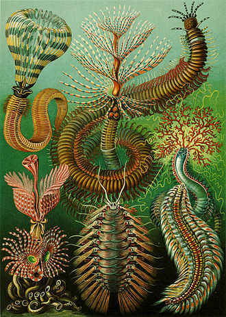 Marine invertebrates - Ernst Haeckel's 96th plate, showing some marine invertebrates. Marine invertebrates have a large variety of body plans, which are currently categorised into over 30 phyla.