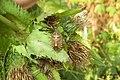 Hairy shieldbug (pod Podfarou) (24366985133).jpg